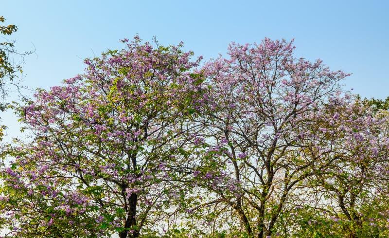 Λουλούδι ταϊλανδικό myrtle υφάσματος κρεπ, floribunda Lagerstroemia στοκ φωτογραφία με δικαίωμα ελεύθερης χρήσης