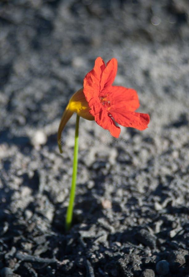 λουλούδι τεφρών στοκ εικόνα