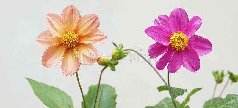 Λουλούδι της ντάλιας pinnate στοκ φωτογραφίες