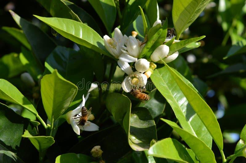 Λουλούδι της Σικελίας, κινηματογράφηση σε πρώτο πλάνο των πορτοκαλιών ανθών με τις μέλισσες που συλλέγουν τη γύρη στοκ εικόνες