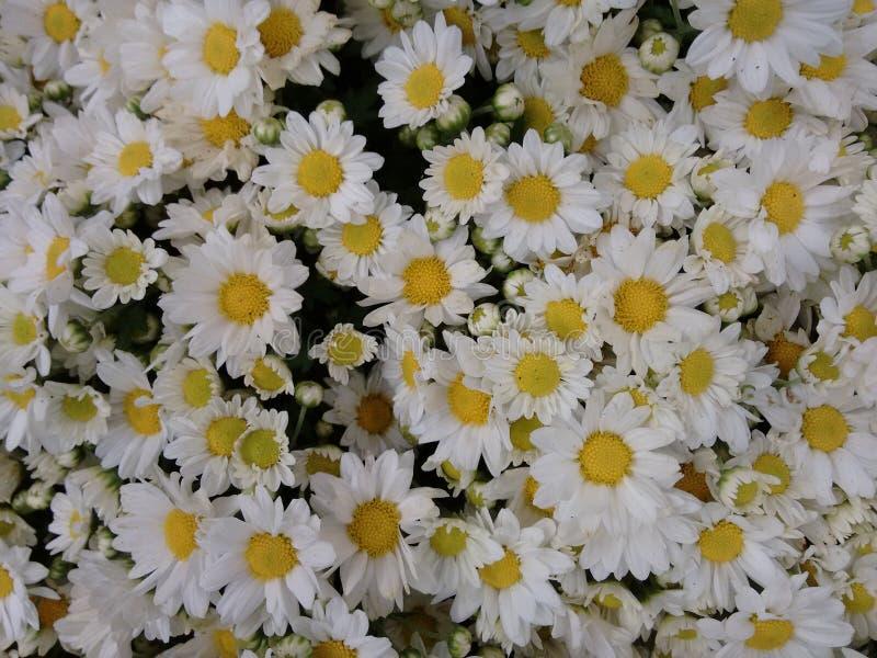 Λουλούδι της Daisy - λευκό στοκ φωτογραφία με δικαίωμα ελεύθερης χρήσης