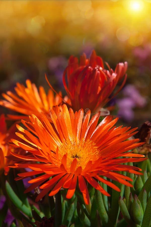 Λουλούδι της Daisy vygie στοκ εικόνες