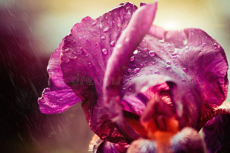 Λουλούδι της Iris με τις βροχερές πτώσεις στοκ εικόνες με δικαίωμα ελεύθερης χρήσης
