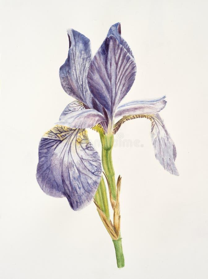 Λουλούδι της Iris στο άσπρο υπόβαθρο διανυσματική απεικόνιση