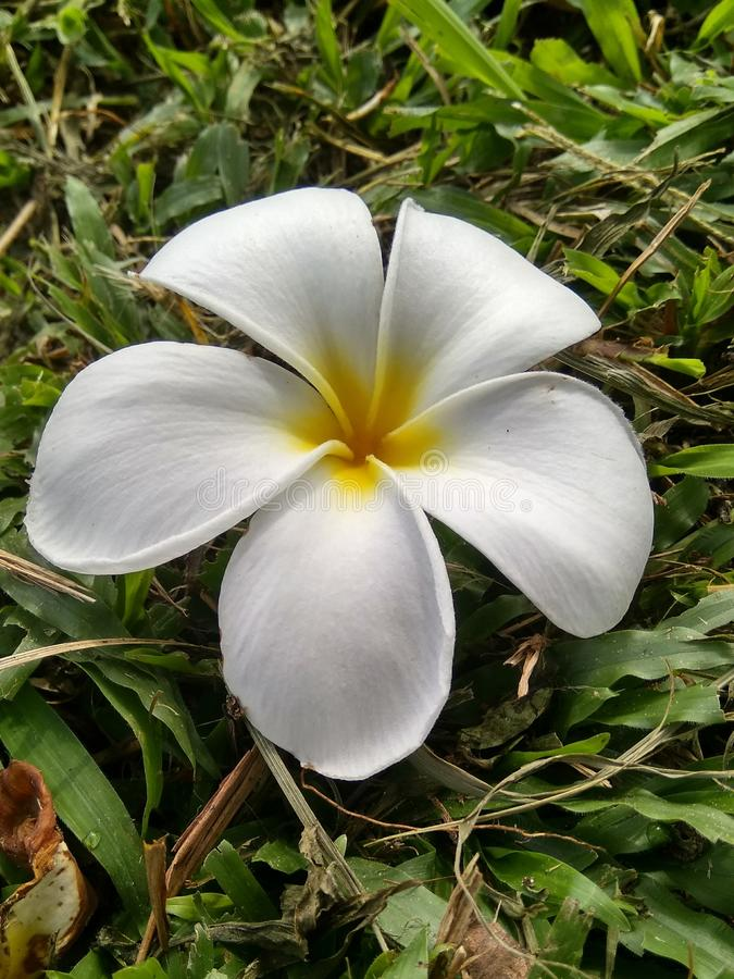 Λουλούδι της Jasmine στοκ εικόνα με δικαίωμα ελεύθερης χρήσης