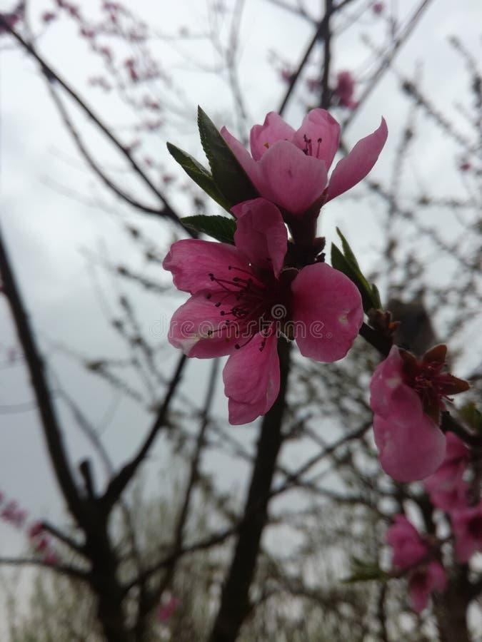 Λουλούδι του δέντρου ροδακινιών στοκ φωτογραφίες