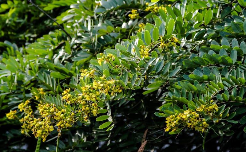 Λουλούδι του δέντρου της Cassia στοκ εικόνες με δικαίωμα ελεύθερης χρήσης