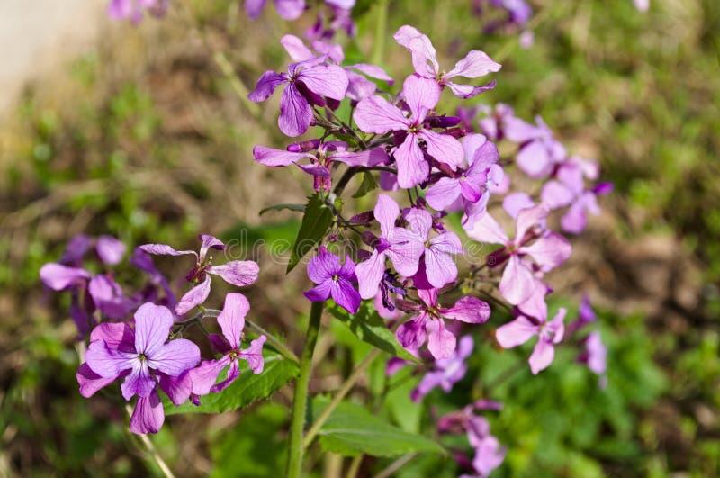 Λουλούδι του πυραύλου κυρίας ` s στοκ εικόνες