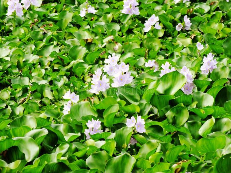 Λουλούδι υάκινθων νερού στο φυσικό νερό στον ποταμό στοκ εικόνες