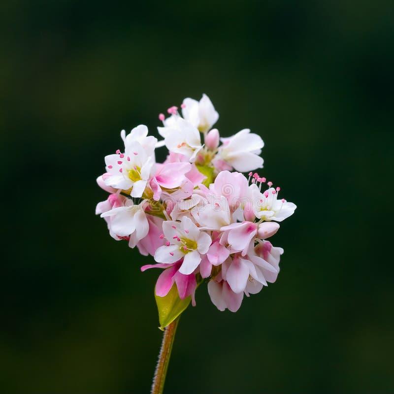 λουλούδι φαγόπυρου στοκ φωτογραφίες