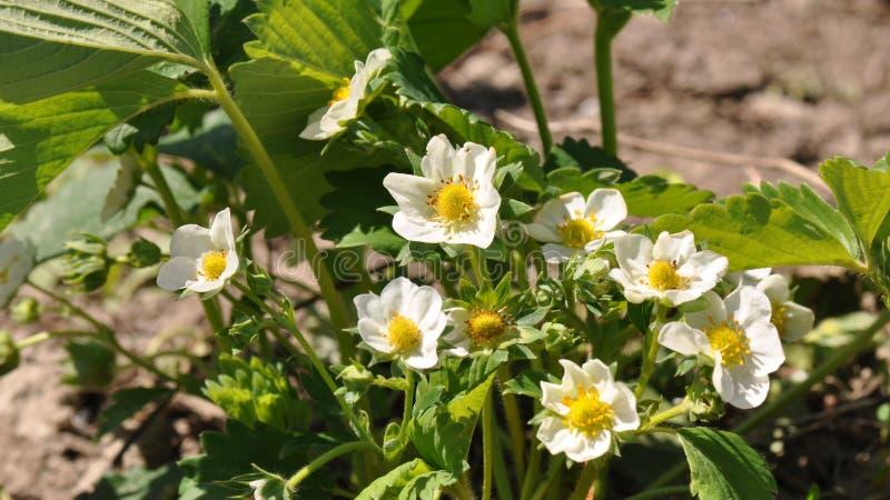 Λουλούδι φραουλών στοκ εικόνες με δικαίωμα ελεύθερης χρήσης
