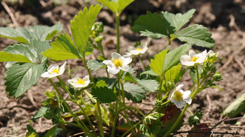 Λουλούδι φραουλών στοκ εικόνα με δικαίωμα ελεύθερης χρήσης