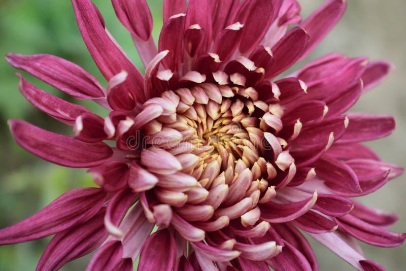 Λουλούδι χρυσάνθεμων του κήπου μου στοκ εικόνες