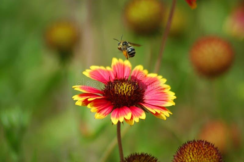 λουλούδι 2 μελισσών στοκ εικόνα με δικαίωμα ελεύθερης χρήσης