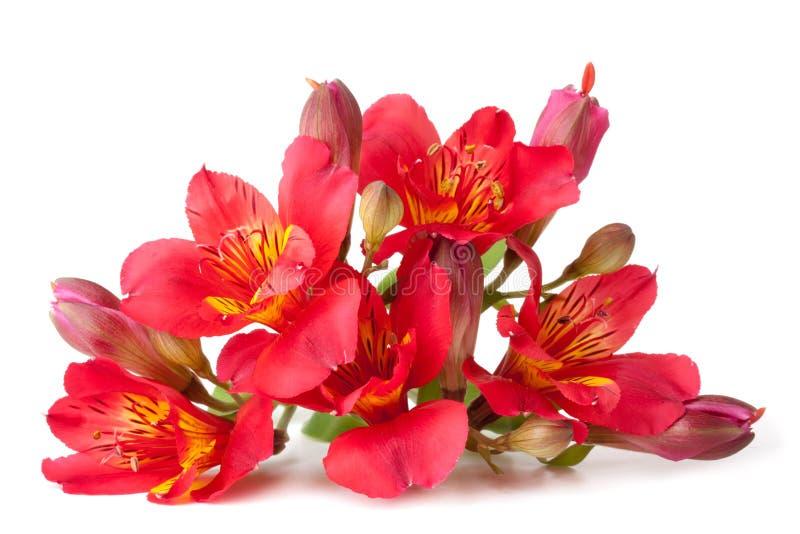 λουλούδι alstroemeria στοκ φωτογραφίες