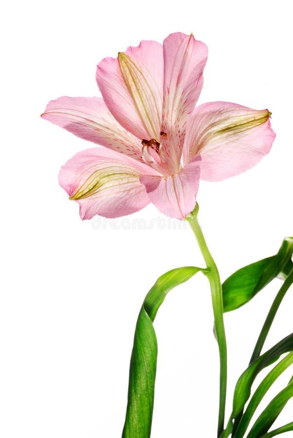 λουλούδι alstroemeria στοκ εικόνα
