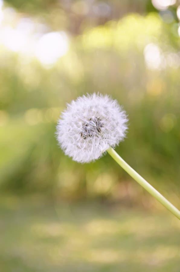 Λουλούδι Blowball στον κήπο στοκ εικόνα με δικαίωμα ελεύθερης χρήσης