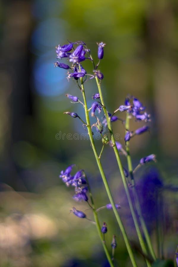 Λουλούδι Bluebell στα ξύλα μια ηλιόλουστη ημέρα άνοιξη στοκ εικόνα με δικαίωμα ελεύθερης χρήσης