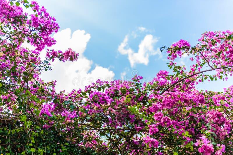 Λουλούδι Bougainvillea με το πράσινο φύλλο στοκ εικόνα