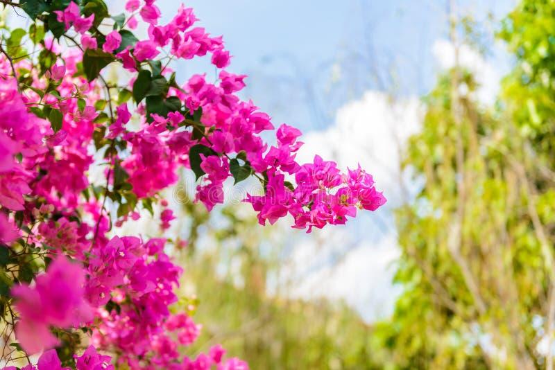 Λουλούδι Bougainvillea με το πράσινο φύλλο στοκ εικόνες