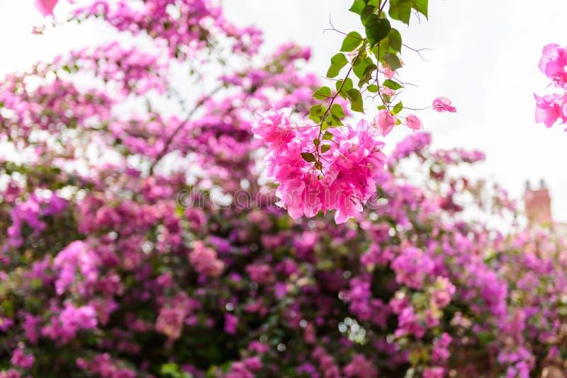 Λουλούδι Bougainvillea με το πράσινο φύλλο στοκ εικόνα με δικαίωμα ελεύθερης χρήσης
