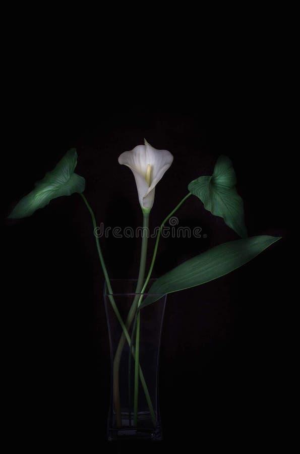 Λουλούδι callalily στοκ φωτογραφία με δικαίωμα ελεύθερης χρήσης