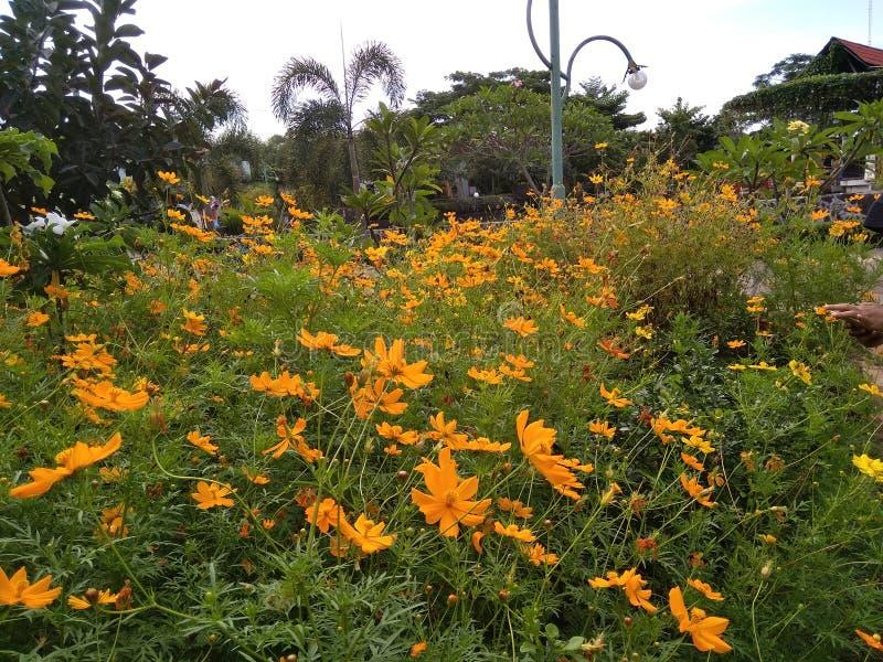 Λουλούδι caudatus κόσμου στο πάρκο στοκ εικόνες