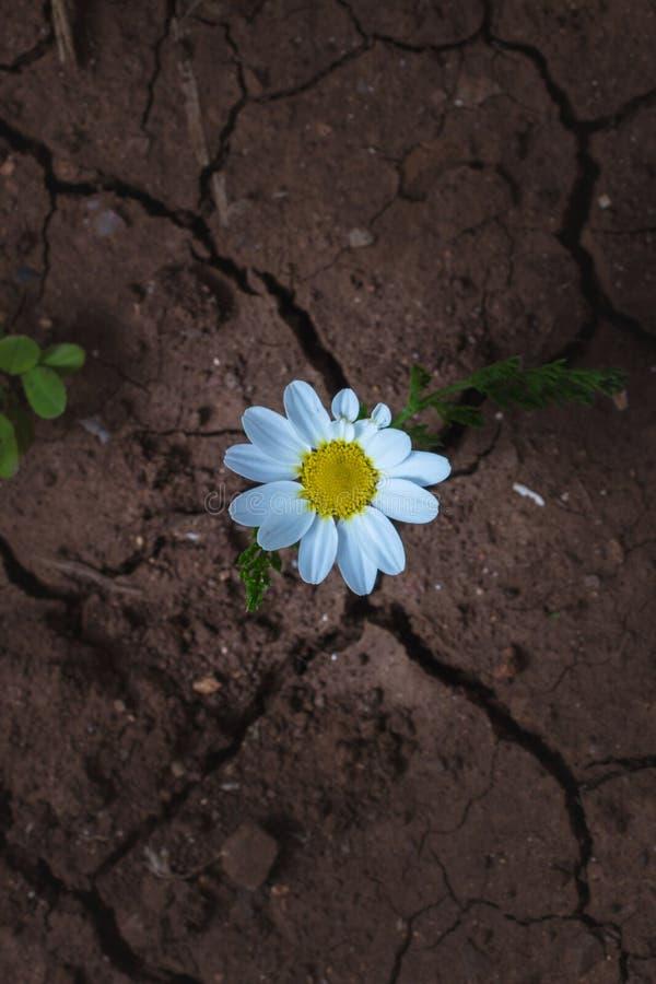 Λουλούδι Chamomile σε μια στεριά στοκ φωτογραφία με δικαίωμα ελεύθερης χρήσης