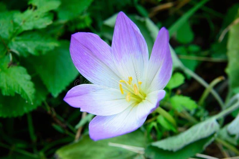 Λουλούδι Colchicum στην Τουρκία στοκ εικόνες με δικαίωμα ελεύθερης χρήσης