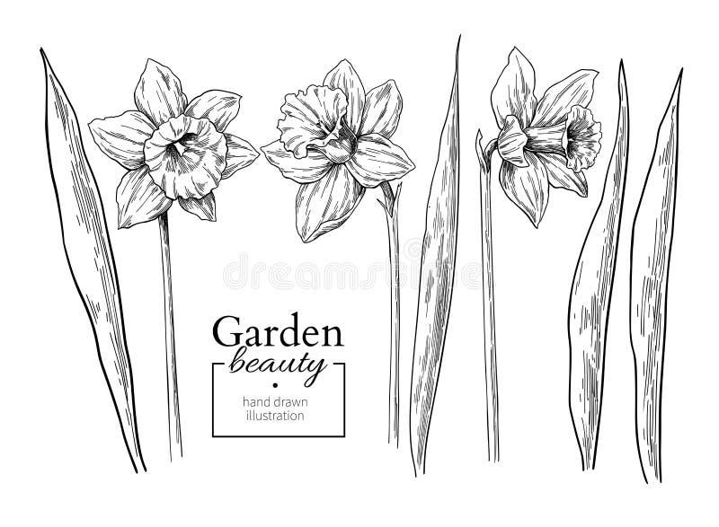 Λουλούδι Daffodil και σχεδιασμός φύλλων Διανυσματικό συρμένο χέρι χαραγμένο φ ελεύθερη απεικόνιση δικαιώματος