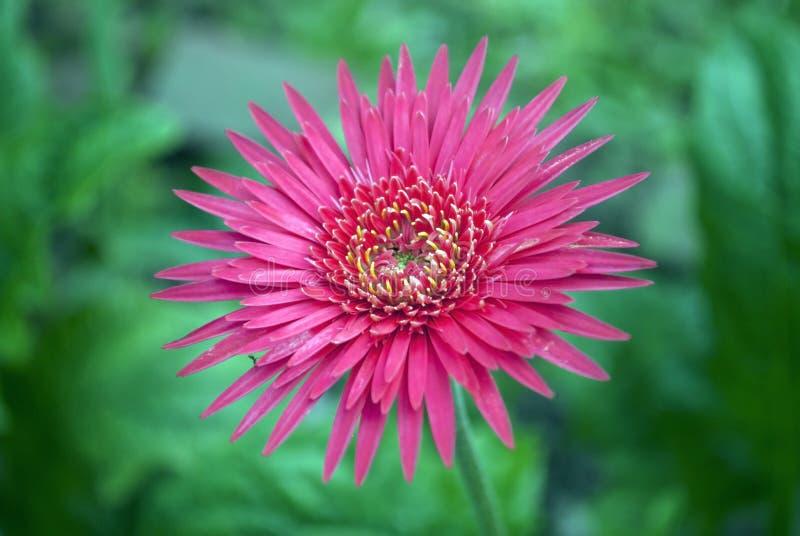 Λουλούδι Dalhia στοκ εικόνες με δικαίωμα ελεύθερης χρήσης