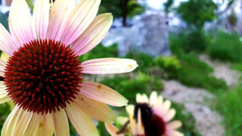 Λουλούδι Echinacea, κόκκινο λουλούδι στοκ εικόνες με δικαίωμα ελεύθερης χρήσης