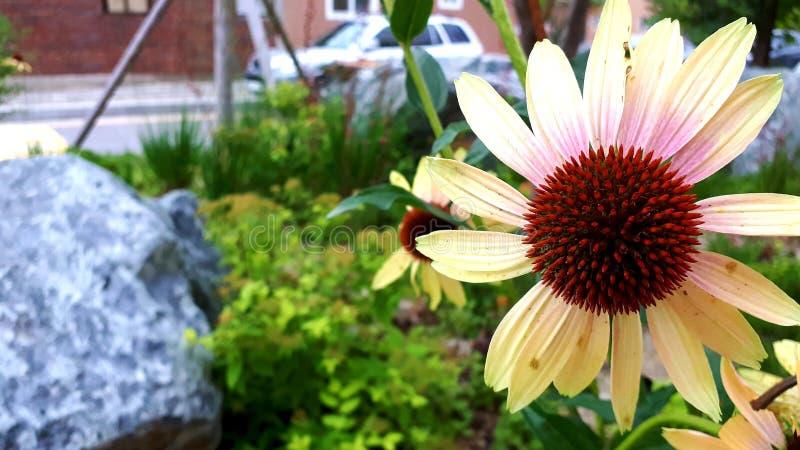 Λουλούδι Echinacea, κόκκινο λουλούδι στοκ εικόνες