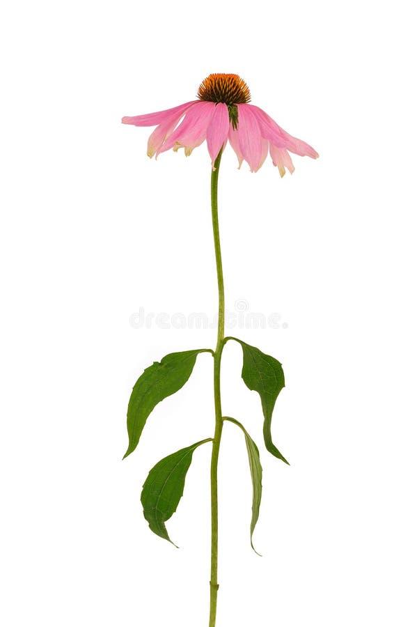 λουλούδι echinacea πέρα από το λ&epsilon στοκ εικόνα με δικαίωμα ελεύθερης χρήσης
