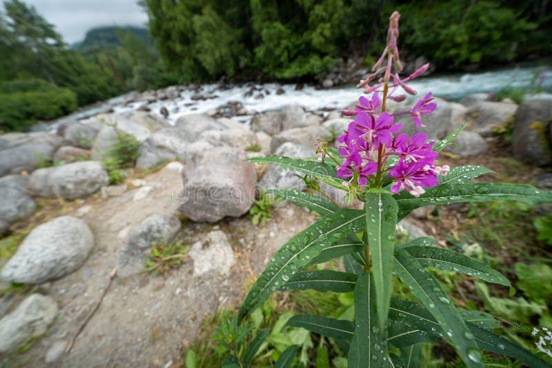 Λουλούδι Fireweed με τις πτώσεις δροσιάς Κολπίσκος στο υπόβαθρο, φωτογραφία που λαμβάνεται στο πέρασμα της Αλάσκας ` s Hatcher στοκ φωτογραφία