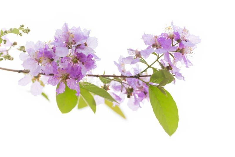 Λουλούδι floribunda Lagerstroemia στοκ εικόνες