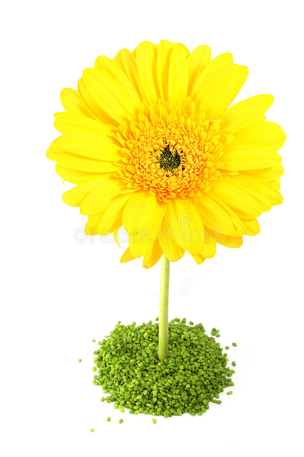 λουλούδι gerber κίτρινο στοκ εικόνες με δικαίωμα ελεύθερης χρήσης