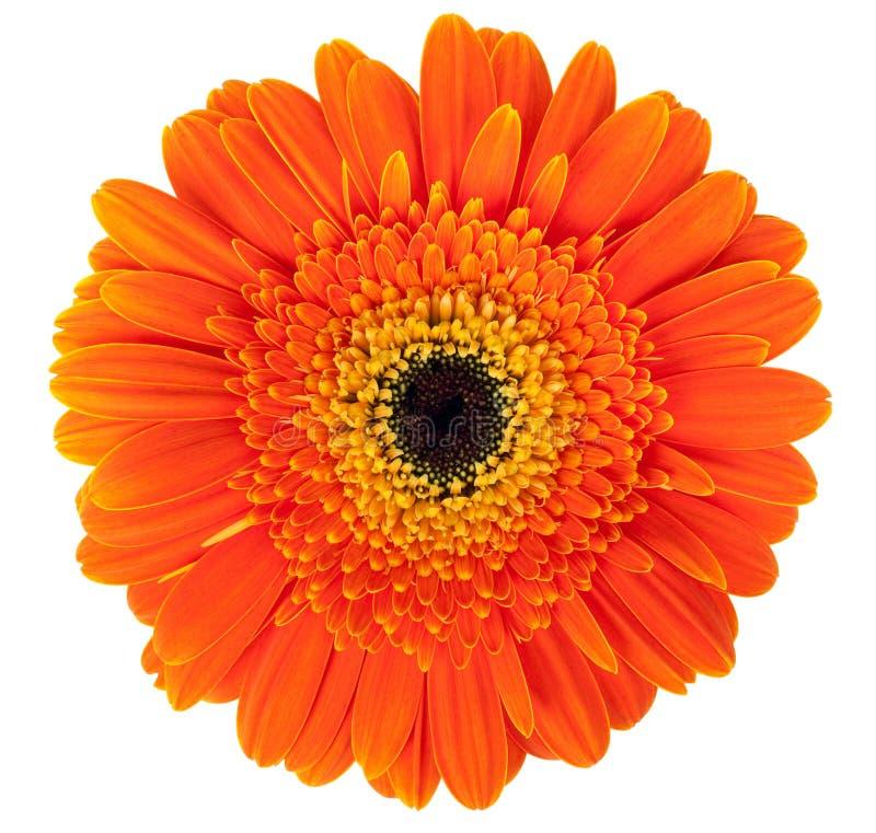 λουλούδι gerber στοκ φωτογραφίες με δικαίωμα ελεύθερης χρήσης