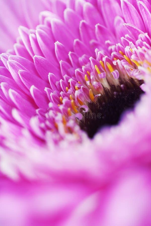 Λουλούδι Gerbera στοκ εικόνες με δικαίωμα ελεύθερης χρήσης