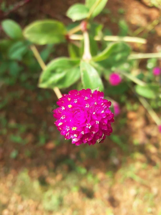 Λουλούδι globosa Gomphrena στοκ φωτογραφία