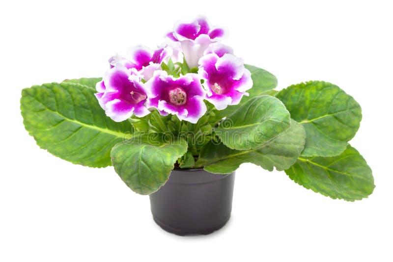 Λουλούδι Gloxinia στοκ εικόνες με δικαίωμα ελεύθερης χρήσης