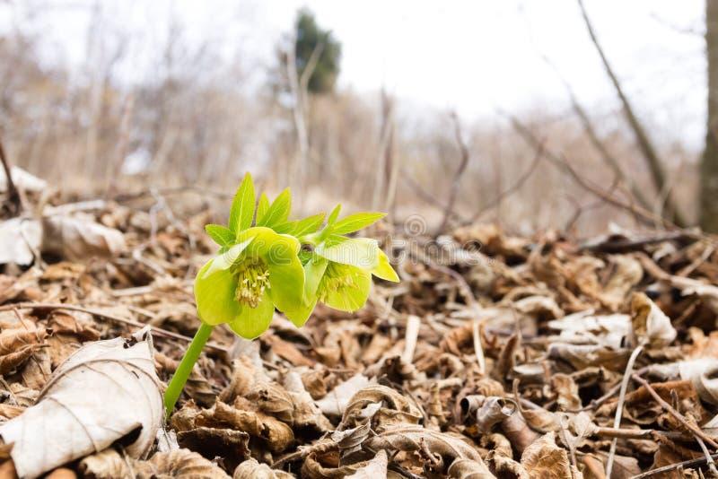 Λουλούδι Hellebore δασόβιο στενό σε επάνω, υπόβαθρο φύσης στοκ εικόνες