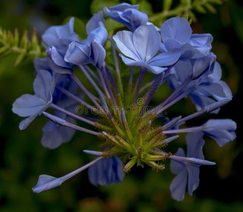 λουλούδι jusmine στοκ φωτογραφίες