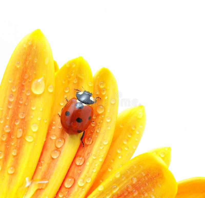 λουλούδι ladybug στοκ εικόνες με δικαίωμα ελεύθερης χρήσης