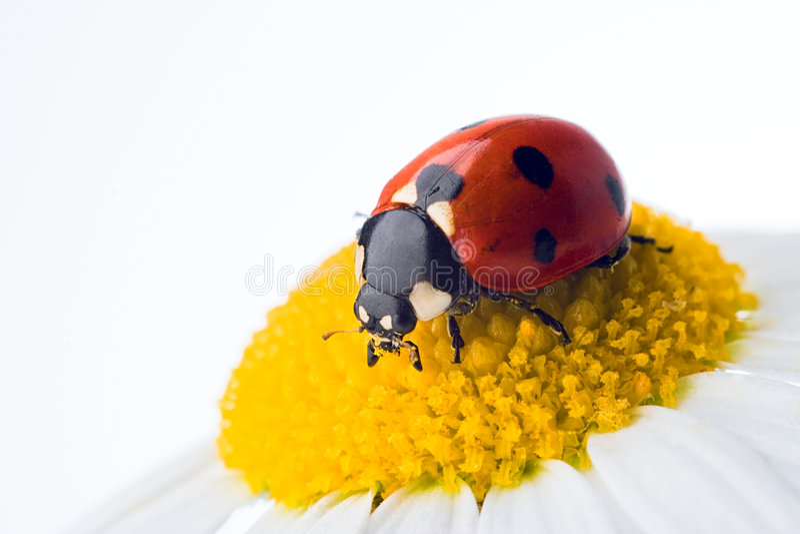 λουλούδι ladybug στοκ φωτογραφία