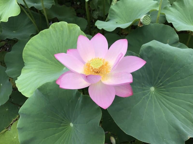 Λουλούδι Lotus, κρίνος νερού στοκ φωτογραφία με δικαίωμα ελεύθερης χρήσης
