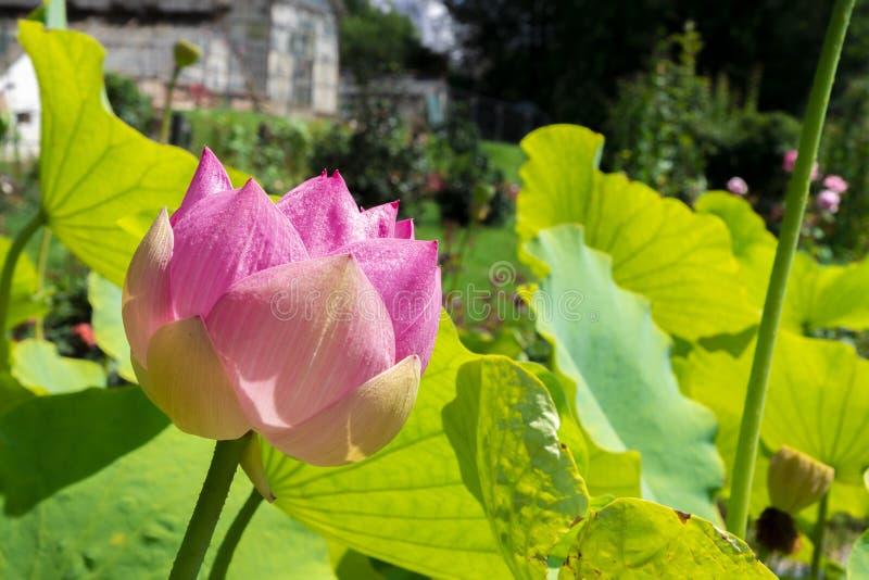 Λουλούδι Lotus μια ηλιόλουστη ημέρα στοκ εικόνα με δικαίωμα ελεύθερης χρήσης