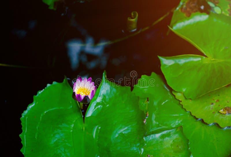 Λουλούδι Lotus στη λίμνη πρωινού στοκ φωτογραφία με δικαίωμα ελεύθερης χρήσης