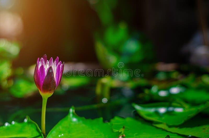 Λουλούδι Lotus στη λίμνη πρωινού στοκ εικόνες
