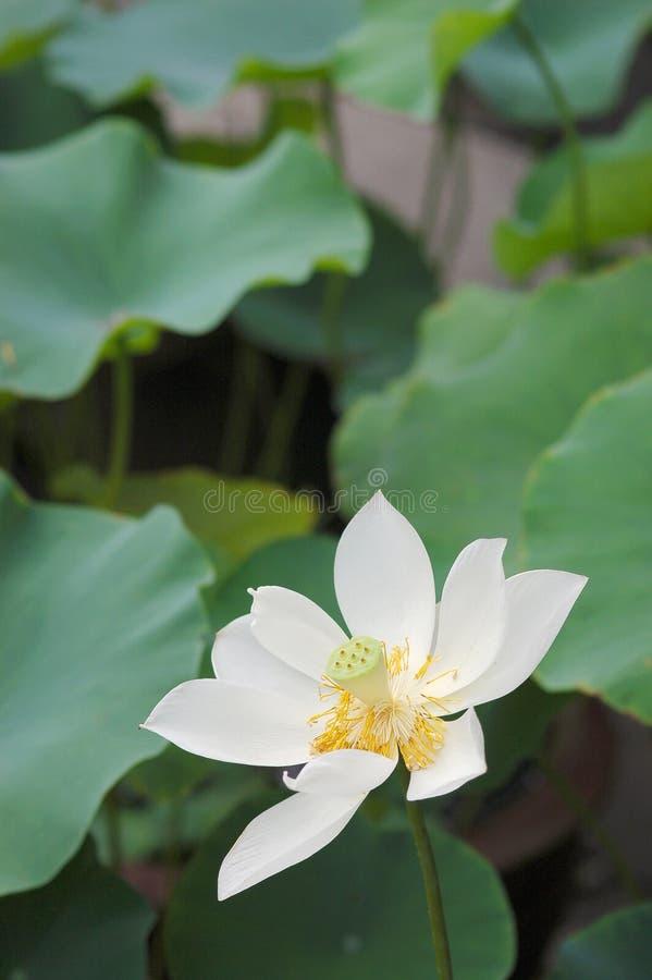 Λουλούδι Lotus Δωρεάν Στοκ Εικόνα